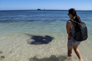 Stingrays at Hamelin Bay